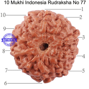 10 Mukhi Rudraksha from Indonesia - Bead No. 77