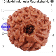 Load image into Gallery viewer, 10 Mukhi Rudraksha from Indonesia - Bead No. 88