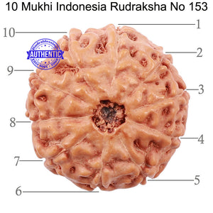 10 Mukhi Rudraksha from Indonesia - Bead No. 153