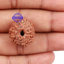Load image into Gallery viewer, 10 Mukhi Rudraksha from Indonesia - Bead No. 154