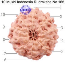 Load image into Gallery viewer, 10 Mukhi Rudraksha from Indonesia - Bead No. 165