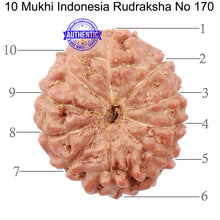 Load image into Gallery viewer, 10 Mukhi Rudraksha from Indonesia - Bead No. 170