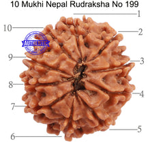 Load image into Gallery viewer, 10 Mukhi Nepalese Rudraksha - Bead No 199