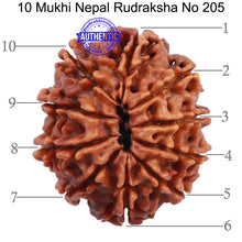 Load image into Gallery viewer, 10 Mukhi Nepalese Rudraksha - Bead No 205