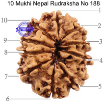 Load image into Gallery viewer, 10 Mukhi Nepalese Rudraksha - Bead No 188