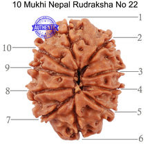 Load image into Gallery viewer, 10 Mukhi Nepalese Rudraksha - Bead No 22