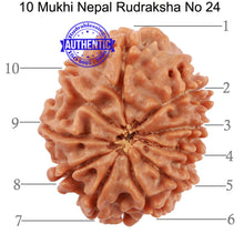 Load image into Gallery viewer, 10 Mukhi Nepalese Rudraksha - Bead No 24
