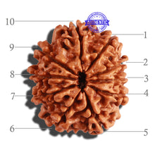 Load image into Gallery viewer, 10 Mukhi Nepalese Rudraksha - Bead No. 223