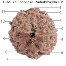 Load image into Gallery viewer, 11 Mukhi Indonesian Rudraksha - Bead No. 106