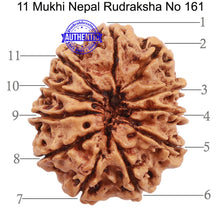 Load image into Gallery viewer, 11 Mukhi Nepalese Rudraksha - Bead No. 161