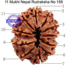 Load image into Gallery viewer, 11 Mukhi Nepalese Rudraksha - Bead No. 159