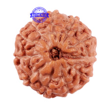 Load image into Gallery viewer, 11 Mukhi Indonesian Rudraksha - Bead No. 158