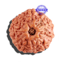 Load image into Gallery viewer, 11 Mukhi Indonesian Rudraksha - Bead No. 164