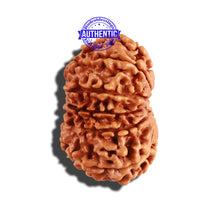 Load image into Gallery viewer, 11 Mukhi Nepalese Rudraksha - Bead No. 238