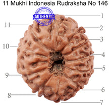 Load image into Gallery viewer, 11 Mukhi Indonesian Rudraksha - Bead No. 146
