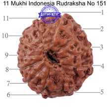 Load image into Gallery viewer, 11 Mukhi Indonesian Rudraksha - Bead No. 151