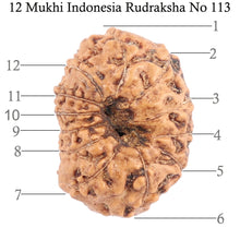 Load image into Gallery viewer, 12 Mukhi Indonesian Rudraksha - Bead No. 113