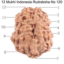 Load image into Gallery viewer, 12 Mukhi Indonesian Rudraksha - Bead No. 120