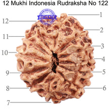 Load image into Gallery viewer, 12 Mukhi Indonesian Rudraksha - Bead No. 122