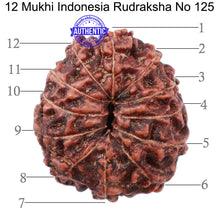 Load image into Gallery viewer, 12 Mukhi Indonesian Rudraksha - Bead No. 125