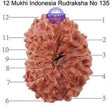 Load image into Gallery viewer, 12 Mukhi Indonesian Rudraksha - Bead No. 135