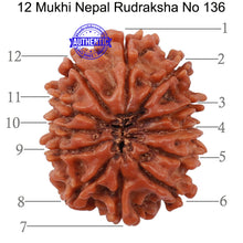Load image into Gallery viewer, 12 Mukhi Nepalese Rudraksha - Bead No 136