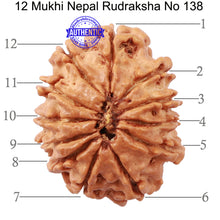 Load image into Gallery viewer, 12 Mukhi Nepalese Rudraksha - Bead No 138