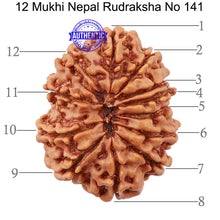 Load image into Gallery viewer, 12 Mukhi Nepalese Rudraksha - Bead No 141