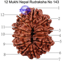 Load image into Gallery viewer, 12 Mukhi Nepalese Rudraksha - Bead No 143