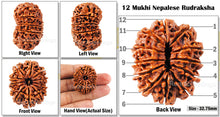 Load image into Gallery viewer, 12 Mukhi Nepalese Rudraksha - Bead No. 36