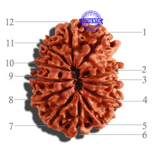 Load image into Gallery viewer, 12 Mukhi Nepalese Rudraksha - Bead No 190