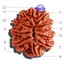 Load image into Gallery viewer, 12 Mukhi Nepalese Rudraksha - Bead No 195