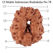Load image into Gallery viewer, 12 Mukhi Indonesian Rudraksha - Bead No. 78