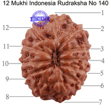 Load image into Gallery viewer, 12 Mukhi Indonesian Rudraksha - Bead No. 140