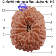 Load image into Gallery viewer, 12 Mukhi Indonesian Rudraksha - Bead No. 143