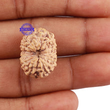 Load image into Gallery viewer, 12 Mukhi Indonesian Rudraksha - Bead No. 164