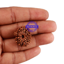 Load image into Gallery viewer, 13 Mukhi Nepalese Rudraksha - Bead No. 144