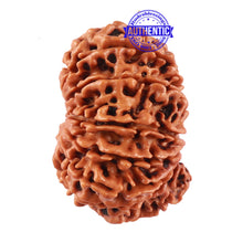 Load image into Gallery viewer, 13 Mukhi Nepalese Rudraksha - Bead No. 161