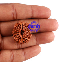 Load image into Gallery viewer, 13 Mukhi Nepalese Rudraksha - Bead No. 163