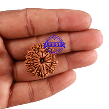Load image into Gallery viewer, 13 Mukhi Nepalese Rudraksha - Bead No. 187