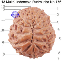 Load image into Gallery viewer, 13 Mukhi Indonesian Rudraksha - Bead No. 176