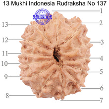 Load image into Gallery viewer, 13 Mukhi Indonesian Rudraksha - Bead No. 137