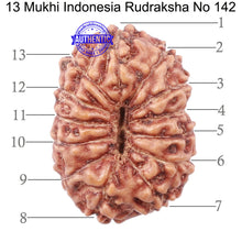 Load image into Gallery viewer, 13 Mukhi Indonesian Rudraksha - Bead No. 142
