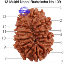 Load image into Gallery viewer, 13 Mukhi Nepalese Rudraksha - Bead No. 109