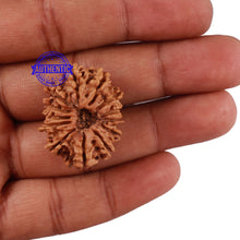 Load image into Gallery viewer, 13 Mukhi Nepalese Rudraksha - Bead No. 110