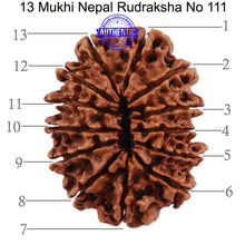 Load image into Gallery viewer, 13 Mukhi Nepalese Rudraksha - Bead No. 111