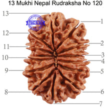 Load image into Gallery viewer, 13 Mukhi Nepalese Rudraksha - Bead No. 120