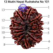 Load image into Gallery viewer, 13 Mukhi Nepalese Rudraksha - Bead No. 101