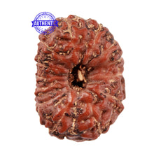 Load image into Gallery viewer, 13 Mukhi Indonesian Rudraksha - Bead No. 180