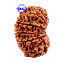 Load image into Gallery viewer, 13 Mukhi Nepalese Rudraksha - Bead No. 136